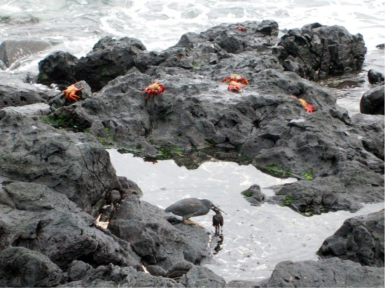 Lava Heron eating Darwin Finch - Galapagos Islands