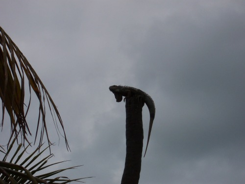 Iguana searching for the sun on a cloudy day in Key West.