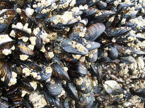 Mussels - Cannon Beach, Oregon