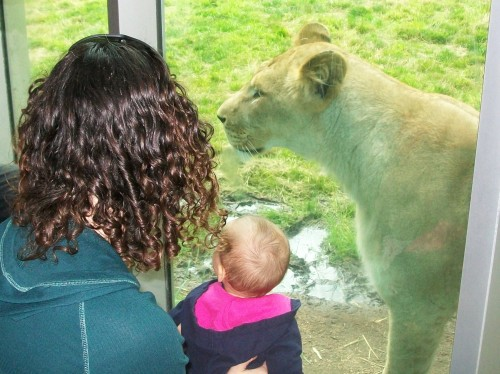 I hope there is glass between that baby and the lion - Portland Zoo