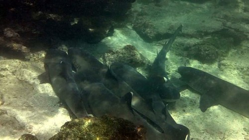 Black-tipped Sharks - Galapagos Islands