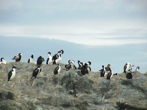 Cormorants - Cape Horn