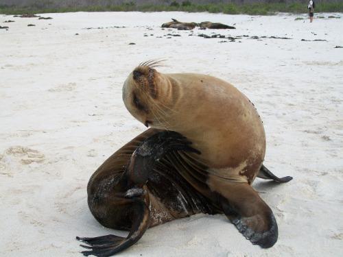 Sea Lion - Galapagos Islands