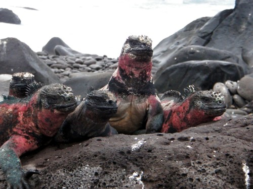 Christmas Iguanas - Galapagos Islands
