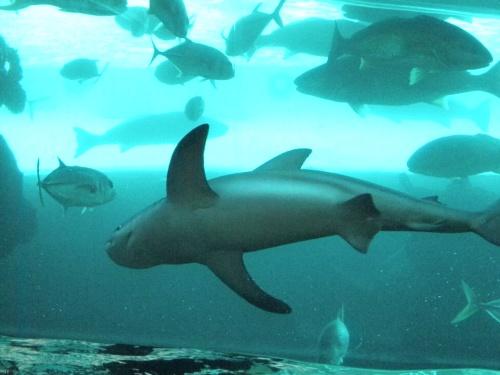 Shark - Las Vegas, NV