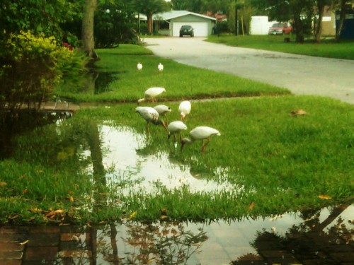Egrets after a big storm