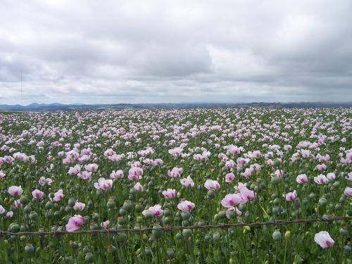 Poppy Field in Tasmania