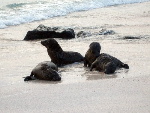 Sea lion pups playing in the surf