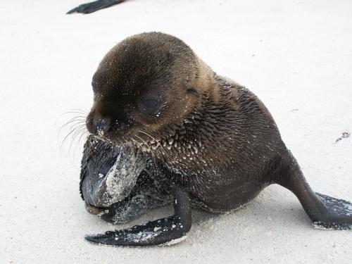 Baby Sea Lion - Galapagos Islands