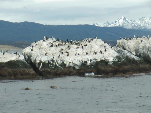 Cormorants - Beagle Channel, Argentina