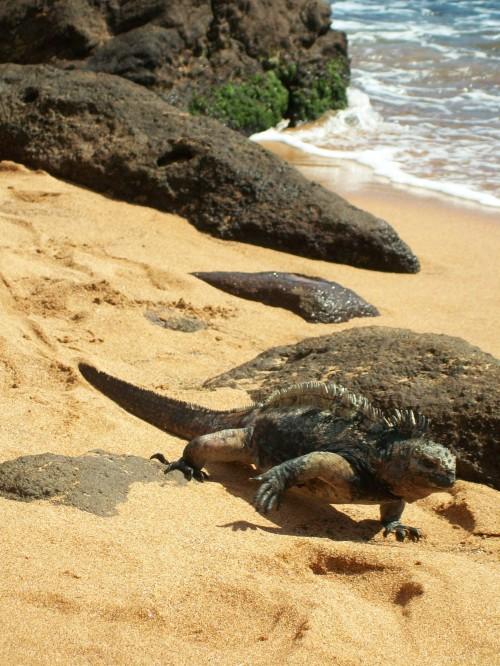 Iguanas love the warm sand