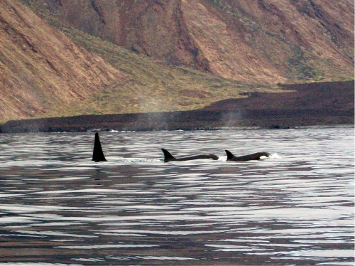 Orca Whales - Galapagos Islands