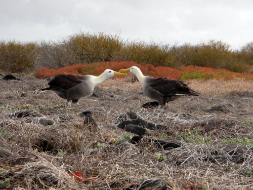 Waved Albatross - Galapagos Islands