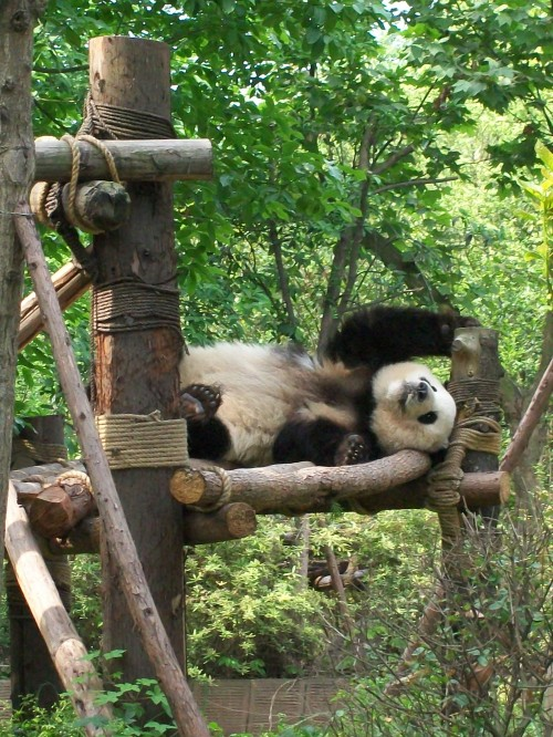 Li Li - Giant Panda Breeding Research Facility, Chengdu