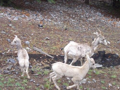 Mountain goats - Canadian Rockies