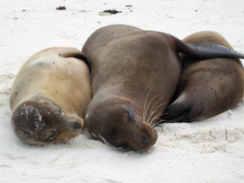 Sea lions - Galapagos Islands