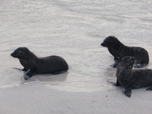 Baby sea lions - Galapagos Islands