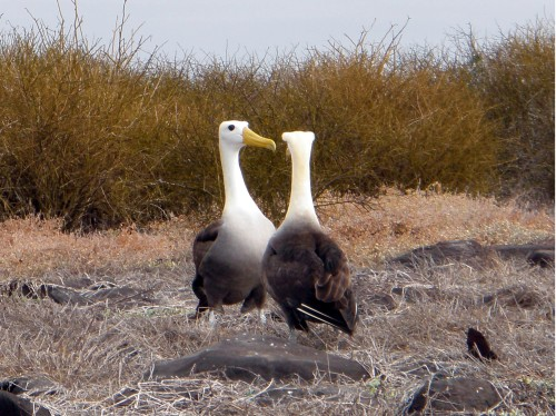 Waved albatross mate for life, but after months at sea the bond must be reestablished